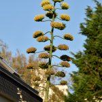 Blütenstand einer Agave in Saint-Pol. @ Klaus W. Schmidt
