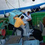 Mitglieder einer Trawlerbesatzung füllen Eis zur Kühlung von gefangenem Fisch in das Schiff