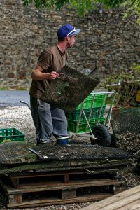 Ein Mitarbeiter des Château de Belon leert Austernsäcke