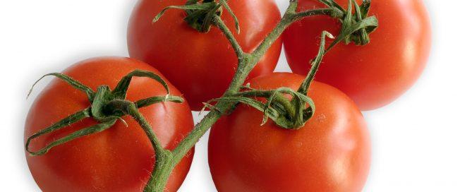 Strauchtomate, eine Sorte aus der großen Familie der Tomate