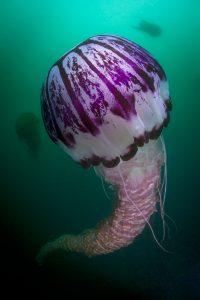 Schirmquallen bestehen zu 97 Prozent aus Wasser. Sie lassen sich von Strömungen treiben, können aber auch aktiv schwimmen. Bild: WDR/BBC NHU/Joe Platko