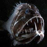 Der in der Tiefsee vorkommende Fangzahnfisch hält einen Rekord unter Fischen: Er hat im Vergleich zu seinem Körper die größten Zähne. WDR/BBC NHU/Espen Rekdal