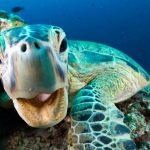 In Deutschland wird die Grüne Meeresschildkröte auch Suppenschildkröte genannt, weil sie lange Zeit zur Herstellung von Schildkrötensuppe diente. Bild: WDR/BBC NHU/Jason Isley