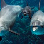 Große Tümmler auf Ausbildungstour. Die Eltern wollen dem Delfinkalb zeigen, wie es sich an Hornkorallen reiben kann, um die Haut zu schützen. Bild: WDR/BBC
