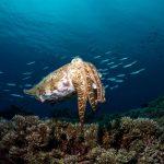 Der Breitarm-Sepia Tintenfisch ist auf Krabben spezialisiert. In schnellem Rhythmus lässt er Muster über seinen Körper flackern. Das scheint Krabben in Trance zu versetzen, so dass sie leichter zu fangen sind. Bild: WDR/BBC NHU/Justin Hofman