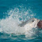 Dickkopf-Stachelmakrelen können bei ihrer Jagd auf Jungvögel sogar aus dem Wasser springen. Bild: WDR/BBC