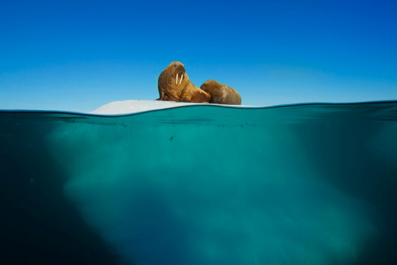 Walross-Babys können noch nicht so lange schwimmen, komfortable Rastplätze sind daher sehr begehrt. Bild: WDR/BBC
