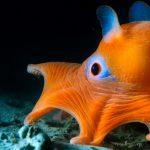 """Der Pfannkuchentintenfisch lebt in der kalifornischen Tiefsee. Seine Kopfflossen haben ihm den Spitznamen """"Dumbo""""-Tintenfisch eingetragen. Bild: WDR/BBC"""