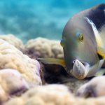 Als einzige unter den Riff-Fischen benutzen Großzahn-Lippfische Werkzeuge, um die harte Schale von Muscheln, ihrer Lieblingsbeute, zu knacken. Sie schlagen die Muschel immer wieder gegen einen Korallenstock, bis die Schale bricht. Bild: WDR/BBC/Alex Vail