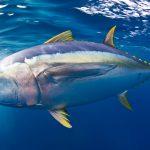 Gelbflossen-Thunfische gehören zu den schnellsten Fischen der Meere. Geschwindigkeiten von 60 Kilometern pro Stunde sind keine Seltenheit. Bild: WDR/BBC NHU/David Valencia